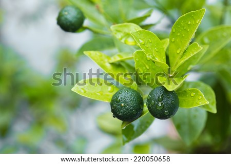 A healthy calamansi tropical lime plant growing healthy outdoors. - stock photo