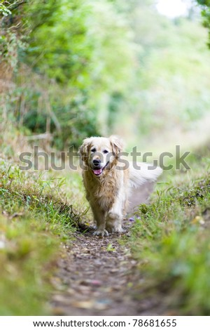 A healthy, fit, beautiful, old, female golden retriever running towards the camera whilst getting some exercise on a walk in the countryside - stock photo