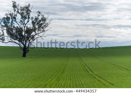 a healthy young cereal crop on undulating paddock with tree and clouds