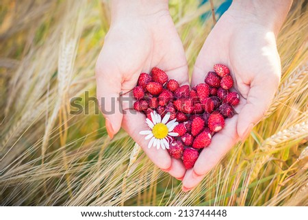 A heart shape strawberries in female hands at the summer, wheat on the background  - stock photo