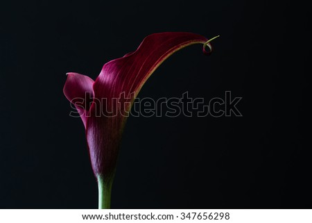 A heart shaped, red calla lily displays its romantic beauty on a black background as natural light strikes its petals. Beautiful for wedding invitations, advertisements, or other ideas and concepts. - stock photo