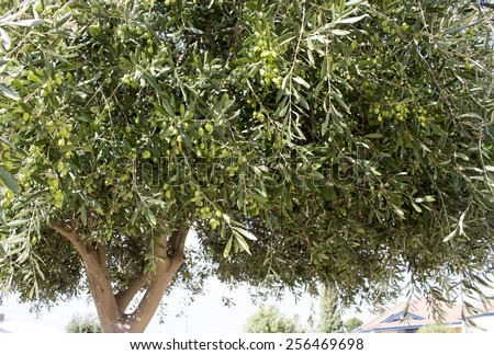A heavy crop of green immature olives ripening on a tree in early autumn  infected with  sap sucking olive lace bugs causing mottling of the leaves. - stock photo