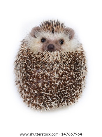 A hedgehog look like a ball on white background.