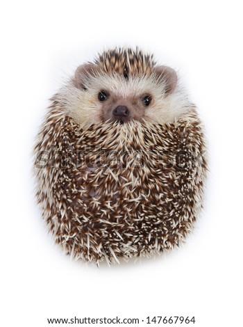 A hedgehog look like a ball on white background. - stock photo