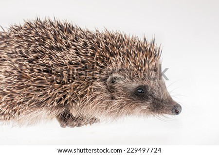 A hedgehog on a white background- side view