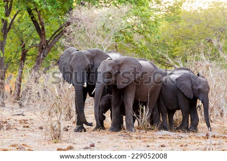 A herd of African elephants drinking at a muddy waterhole, Caprivi Game Park, Namibia. True wildlife photography - stock photo
