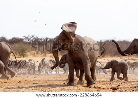 A herd of African elephants drinking at a waterhole. Angry Elephant in front. Etosha national Park, Ombika, Kunene, Namibia. True wildlife photography - stock photo
