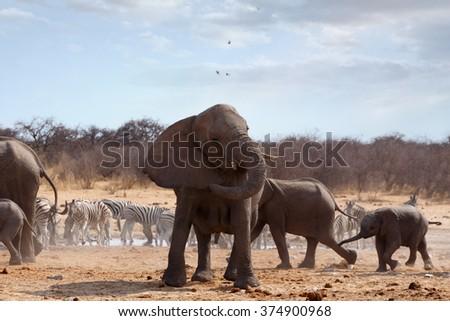 A herd of African elephants drinking at a waterhole. Angry Elephant in front. Etosha national Park, Ombika, Kunene, Namibia. True wildlife photography - stock photo