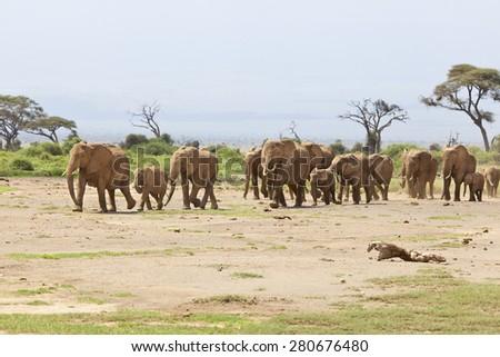 A herd of African Elephants in Amboseli National Park in Kenya. - stock photo