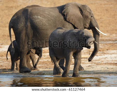 A herd of African elephants (Loxodonta Africana) on the banks of the Chobe River in Botswana drinking water