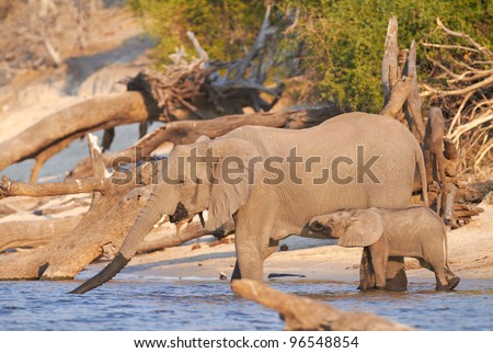 A herd of African elephants (Loxodonta Africana) on the banks of the Chobe River in Botswana drinking water, with juveniles and a calf - stock photo