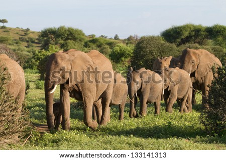 A herd of African elephants walking in single file in Botswana's Mashatu Game Reserve