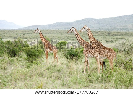 A herd of beautiful Giraffes in Savannah grassland and bushes