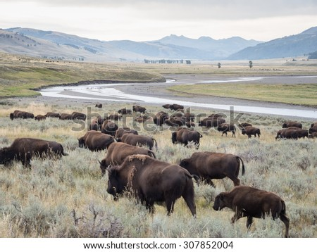 A herd of Bison (Buffalo) walking and grazing along Soda Butte Creek in Yellowstone National Park. - stock photo