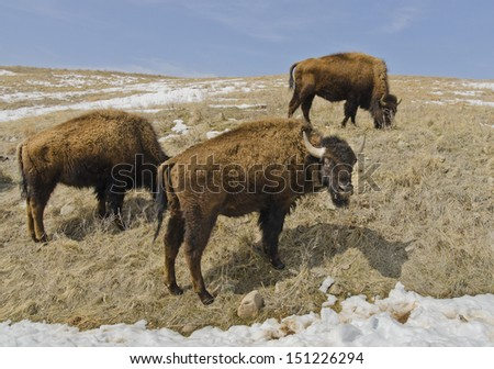 A herd of 1300 bison roam Custer State Park in the Black Hills of South Dakota in the southwestern corner of the state. Here one keeps watch while the others graze. - stock photo
