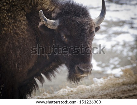 A herd of 1300 bison roam Custer State Park in the Black Hills of South Dakota in the southwestern corner of the state. - stock photo