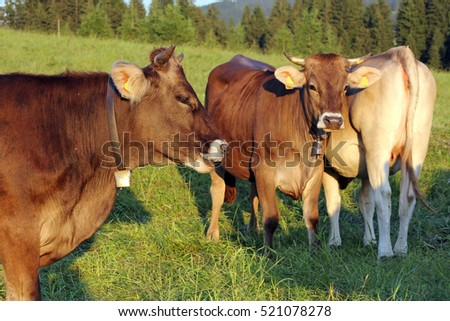 A herd of brown cattle on the pasture