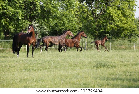 a herd of brown Holsteiner horse galloping with a foal on a green pasture