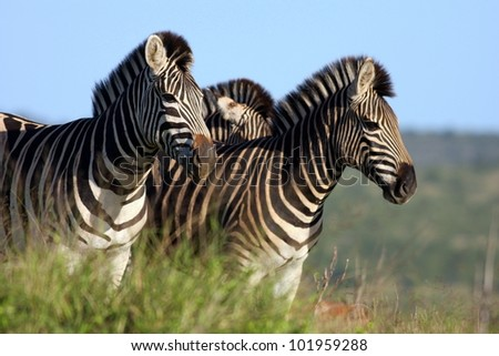 A herd of Burchell Zebra on the move in Addo elephant national park, South Africa - stock photo