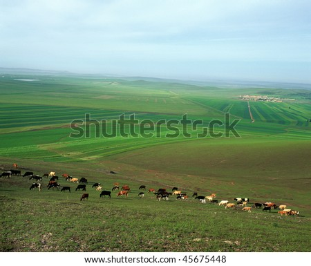A herd of cattle grazing on the vast green meadow in Bashang grassland. - stock photo
