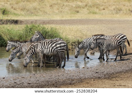 A herd of common zebras, Equus Quagga, drinking from a water hole in Serengeti National Park, Tanzania - stock photo