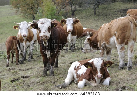 A Herd of Cows - stock photo