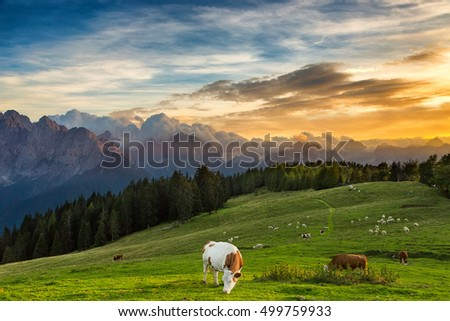 A herd of cows grazing on a high alpine meadow against mountains
