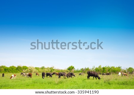 A herd of cows grazing on a meadow in a summer sunny day - stock photo