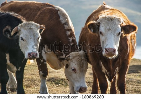 A herd of cows grazing on the Pembrokeshire coast - stock photo