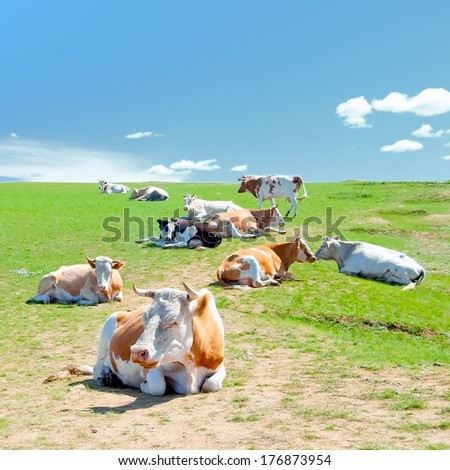 A herd of cows lying on a meadow in the background of blue sky - stock photo