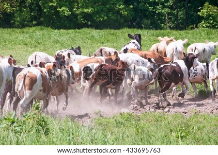A herd of cows running
