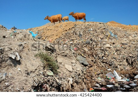 A herd of cows scavenge amid plastic bags, poisonous waste and toxic trash next to contaminated water at the biggest and most polluted landfill site on the holiday resort island of Bali, Indonesia. - stock photo