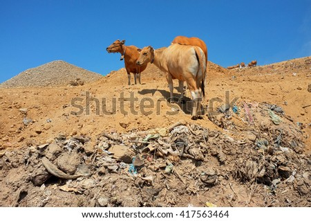 A herd of cows scavenge for food amid hazardous waste and toxic household trash at the biggest and most polluted landfill site on the holiday resort island of Bali, Indonesia. - stock photo