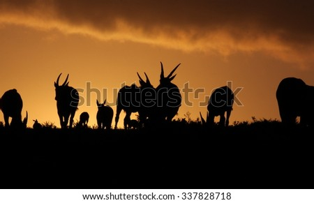 A herd of Eland move across the horizon at sunset. South Africa - stock photo