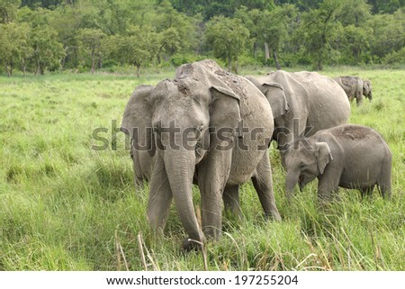 A herd of elephant in Dhikala Grassland