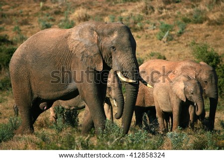 A herd of elephant walk past the camera.Taken in Addo Elephant National Park, South Africa - stock photo