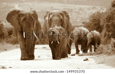 A herd of elephant walk towards the camera in this monocrome image taken in Addo Elephant National Park, South Africa - stock photo