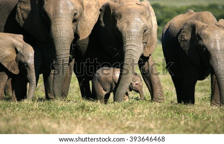 A herd of elephant walk towards the camera. They surrounding and protecting the new baby elephant. Taken in South Africa