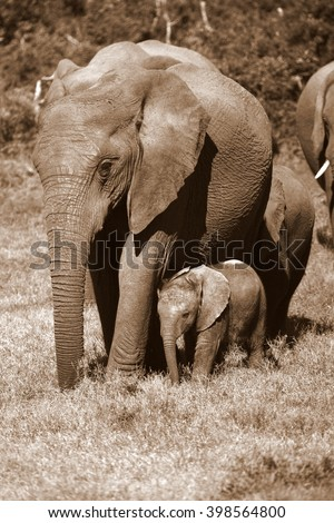 A herd of elephant walk towards the camera. They surrounding and protecting the new baby elephant. Taken in the Easten Cape, South Africa - stock photo