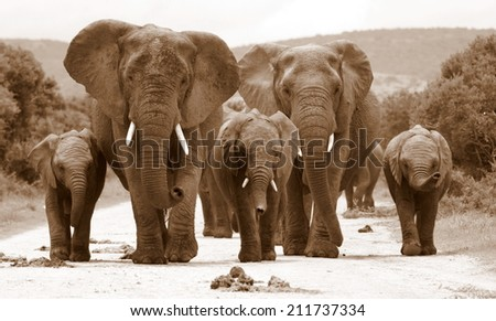 A herd of elephant walk towards the camera with all of them moving their trunks and smelling me. Sepia tone. Taken in Addo Elephant National Park, South Africa - stock photo