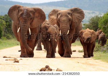 A herd of elephant walking towards the camera in this black and white image. - stock photo