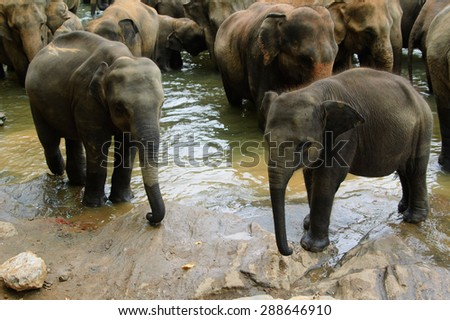 A herd of elephants are seen in the water in Pinnawala Elephant Orphanage, Sri Lanka - stock photo