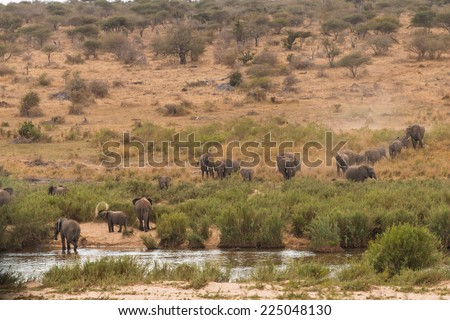A herd of elephants coming down to the river to drink in The Kruger National Park, South Africa.  - stock photo