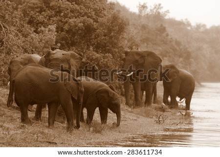 A herd of elephants drinking and swimming in a dam in South Africa