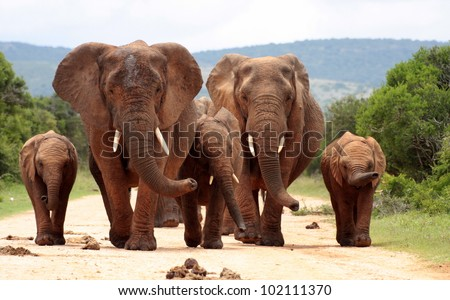 A herd of elephants with baby calves approaches us. Took the shot at a low angle to enhance the portrait. Taken in Addo elephant national park,eastern cape,south africa - stock photo