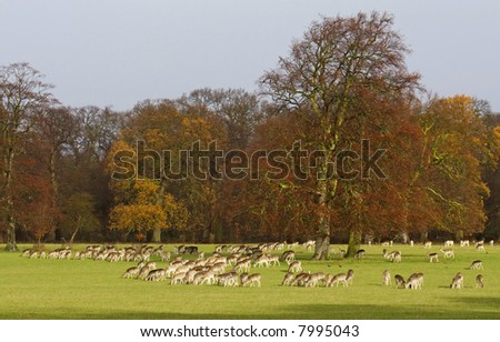 A herd of fallow deer grazing on a winters morning