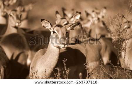 A herd of female impala together in this selective focus sepia tone image. blured background. - stock photo