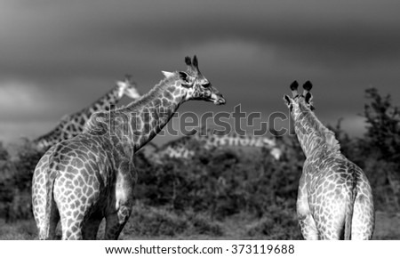 A herd of Giraffe all together in this image. South Africa - stock photo