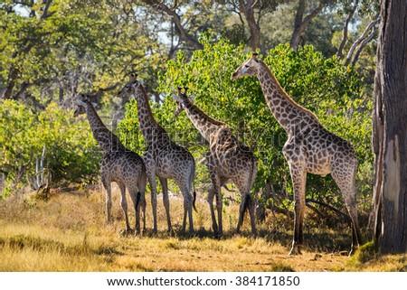 A herd of giraffe in african bush. Moremi game reserve, Botswana. - stock photo