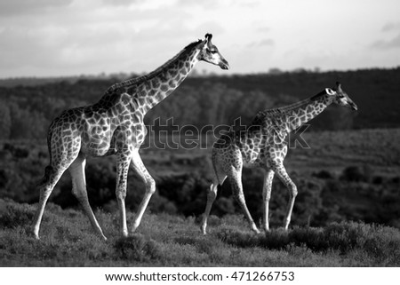 A herd of Giraffe walking together in this image. South Africa
